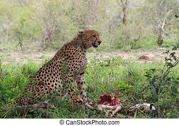 CHEETAH KILLING IMPALA