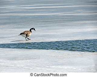 Canada Goose - The geese have arrived back too early; the...