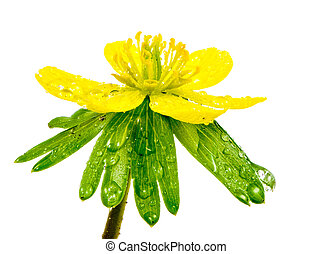 Isolated yellow wet blossom of winter aconite flower...