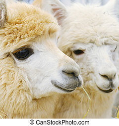 two fluffy alpacas at zoo