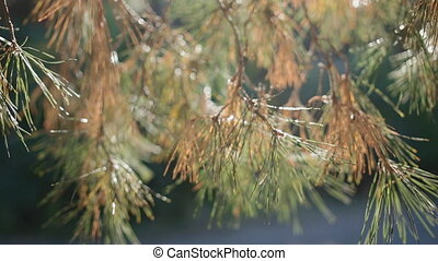 Sunshine in pine needles. beautiful natural background.