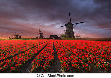 Windmill with tulip field in Holland - Windmill with...