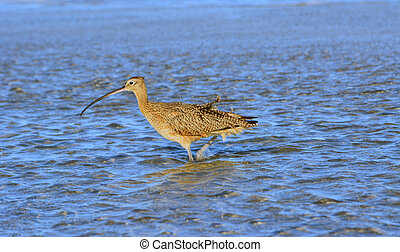 Wading Curlew - Curlew walking in water
