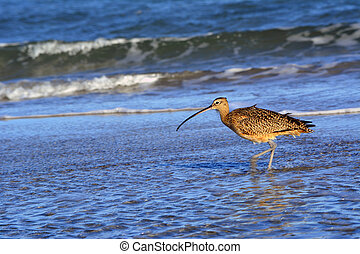 Long Billed Curlew waking in the surf