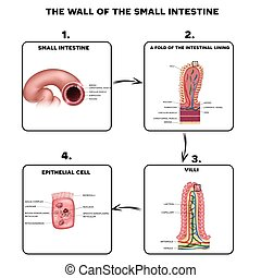 Small intestine wall anatomy, a fold of the intestinal...