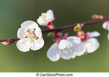 detail of blossom apricot tree