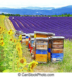 lavander fields and beehive in Provence, France - Beautiful...
