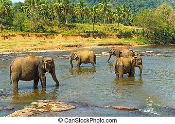 Elephant in river Sri Lanka - Elephant in river at...