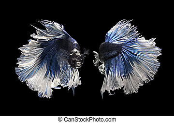 betta fish, siamese fighting fish isolated on black...