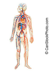 Human anatomy of man - Human anatomy of man on white...