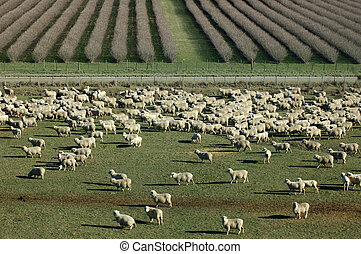 mob of sheep on a farm in Marlborough, South Island, New...
