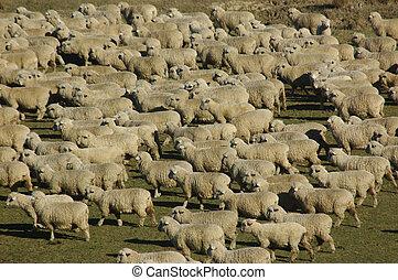 mob of sheep on a farm in Marlborough, South Island, New...