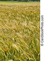 triticale crop