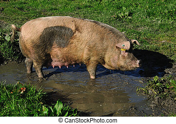 pigs in mud - Domestic pig wallowing in a mud puddle,...