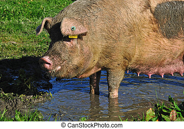 pigs in mud - Domestic sow wallowing in a mud puddle,...