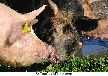 pigs in mud - Domestic pigs wallowing in a mud puddle,...