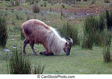 Thar - introduced game animal, the Himalayan goat, or Thar,...