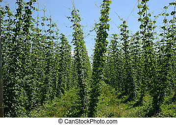 crop of hops, Humulus lupulus - rows of hop bines growing...