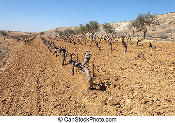 Vineyards - Unirrigated vineyards in a small field. Photo...