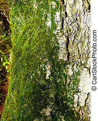 green moss on birch