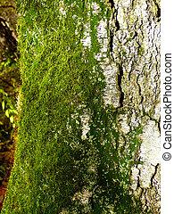 green moss on birch
