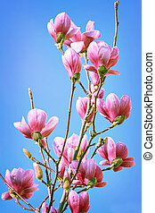 Magnolia Flowers against the Sky - Pink Magnolia Flowers...