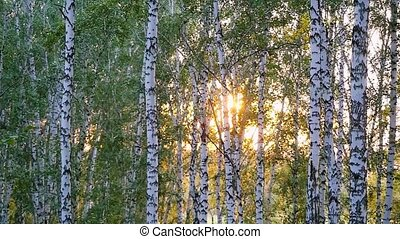 birch trees in a summer forest during sunset in slowmotion. 1920x1080
