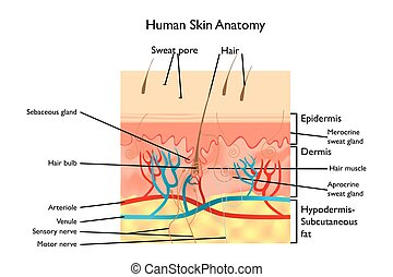 Human Skin Anatomy - detailed illustration with designations...