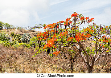Desert Tree with Orange Flowers on St Kitts