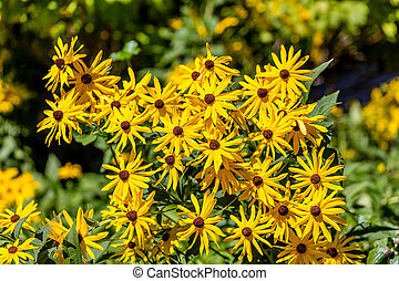 Yellow Brown-Eyed Susans with Green Foliage - Blooming...