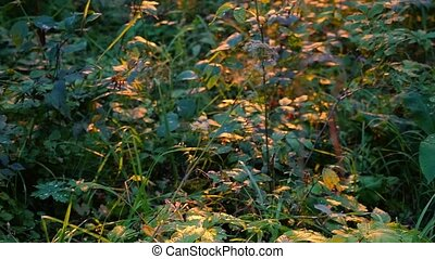 plants and birch trees in a summer forest during sunset in...