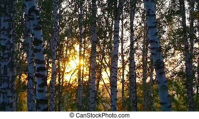 birch trees in a summer forest during beautiful sunset in...