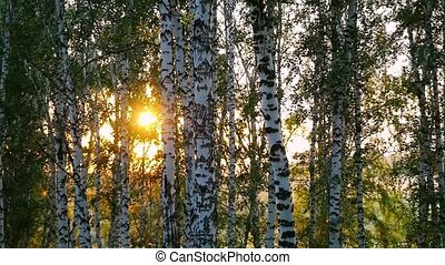 birch trees in a summer forest during sunset in slowmotion...