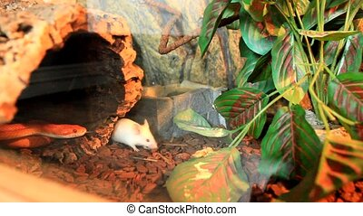 Snake attack a white mouse - Red / Orange albino Snake...