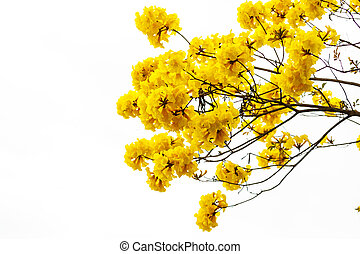 ellow tabebuia flower blossom on white background