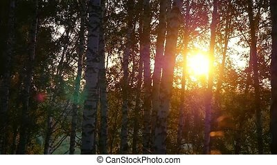 birch trees in a summer forest during amazing sunset in...