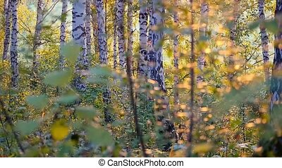 birch trees in a summer forest during amazing sunset in slowmotion with lens flares from sun. 1920x1080