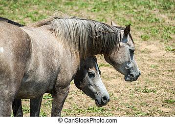 Arabian Horses in Catalunya - Arabian horses in a ranch of...