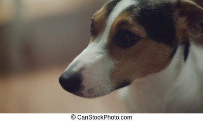 Jack Russell Terrier dog looking at the camera, shooting...