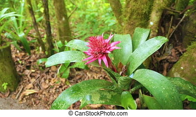 Flower in Costa Rica forest - Pink flower of Aechmea...