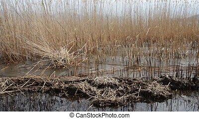 Burned reed field on a beach of Lake Prespa, Macedonia -...