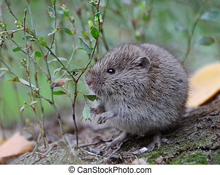 Common Vole among grass - Common Vole (Microtus arvalis)...