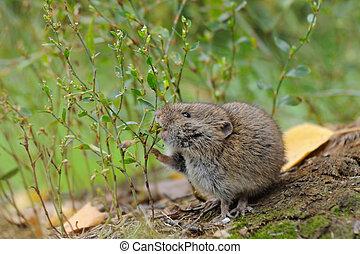 Common Vole eats wild grass seeds - Common Vole (Microtus...