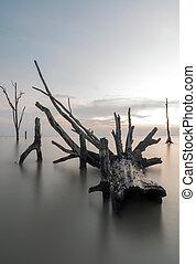 Dead mangrove trees at the beach