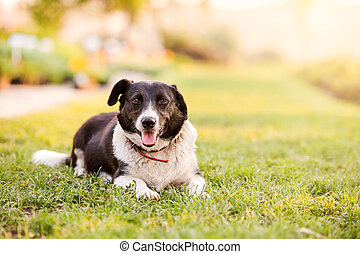 Happy dog lying in green grass with extending paws - Close...