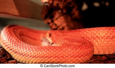 Snake eats a white mouse - Red Orange albino Snake eats a...