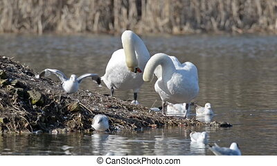 Two swans cleaning plumage - Two swans and other birds...