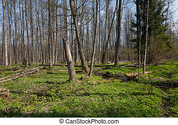 Riparian stand of Bialowieza Forest along stream - Riparian...