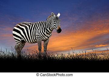 Zebra on the background of sunset sky