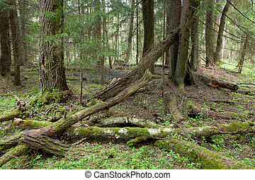 Springtime wetland stand of Bialowieza Forest with broken...